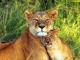 amusing-lions