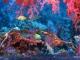 Red Sea Napoleon Fish Screensaver