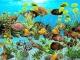 Tiger Oscar Aquarium