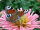 awesome-butterflies